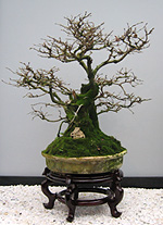 "1-st Bonsai Exhibition in Moscow ""Bonsai-Center"""